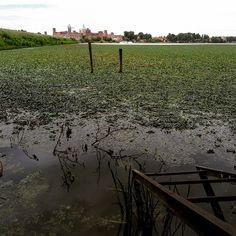 Siamo sul lago di Mezzo a Sparafucile in provincia di #Mantova. Cosa si nota di strano? Cè un tappeto verde sullacqua. Le chiamano castagne dacqua il nome botanico è trapa natans quello popolare trigol (plurale trigoi). Non sono piante dannose anzi depurano. Però si è perso il controllo. Colpa del caldo e della burocrazia. (Foto: @gazzettadimantova)  #igersmantova #igerslombardia #natura #nature #verde #laghi #lago #piante #estate2015 by lacronacaitaliana