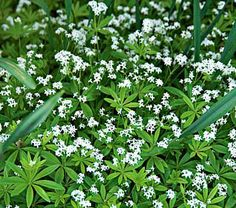 Sweet Woodruff An old fashioned favorite, it is a tough, drought resistant, fast spreading ground cover. If you have a shady, difficult spot to cover, and you want it to look carpeted with fresh green topped with delicate white flowers in May and June.