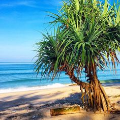 Our Pandanus Palm is at the front entrance to our property. No Sand here however. Landscape Photos, Landscape Paintings, Balinese Garden, Birch Trees, Tropical Plants, Beach Art, Door Ideas, 30 Years, Beach House