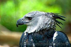 http://shadowleoparddreams.deviantart.com/art/Harpy-Eagle-126642688