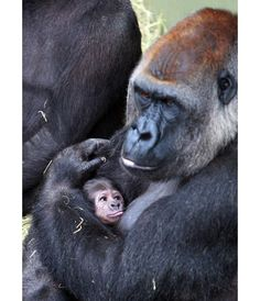 Newborn baby gorilla at Dublin Zoo