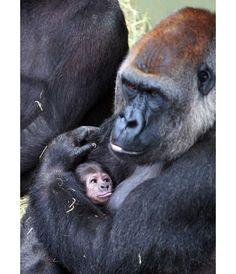 Newborn baby gorilla at Dublin Zoo