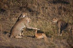 """I leopardi """"coccolano"""" il cucciolo di cervo"""