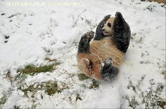 White Wolf: Giant panda seen playing in snow at Yunnan Wild Animals Park (Photos) Pictures Of The Week, Cool Pictures, Pandas Playing, Wild Animal Park, Toronto Zoo, Animal Tracks, Kunming, Rare Animals, Wild Animals