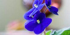 African Violet Depth of Field Tutorial Saintpaulia, Depth Of Field, Houseplants, Pictures, African Violet, Violets, Gardening, Google Search, Ideas