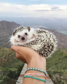 Hedgehogs give us all the feels