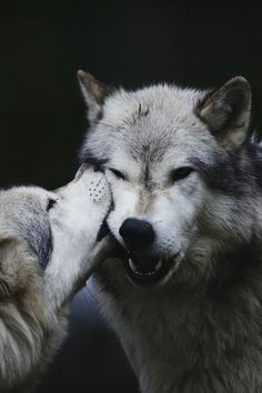 pinterest- coldtamale <3 .....I've read that nibbling is a sign of affection among wolves ~SheWolf★