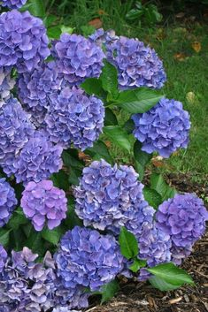 Cityline Venice hydrangea may be small, but it makes a big impact in the garden.
