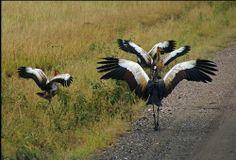 You are well assured of seeing these birds in Uganda. http://www.wildwhispersafrica.com/uganda/birding-gorilla/