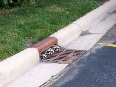 Funny animal business. Three raccoons peeking out from a sewer drain.