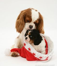 two different kinds.  blenheim and tri-color cavalier king charles spaniel