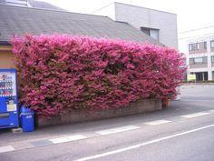 紅銅葉と紅花のコントラストが最高!シンボルツリー、生垣に大人気!。【マンサク属】銅葉トキワマンサク紅花4号ポット
