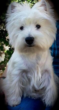 a fully-grown Westie sweetie. Beautiful Dogs, Animals Beautiful, Cute Animals, Westies, Terriers, Doggies, Dogs And Puppies, Cutest Dog Ever, Companion Dog