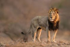Imagine spending an entire week, travelling the safari plains of in explore of the watching sunrises and sunsets, having close encounters with wildlife, all under African skies! Tanzania Safari, Male Lion, Wildlife Safari, Close Encounters, Lead The Way, Big Cats, Lions, Tourism, Adventure