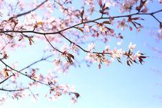 Homevialaura | Mother's Day | Cherry blossom trees
