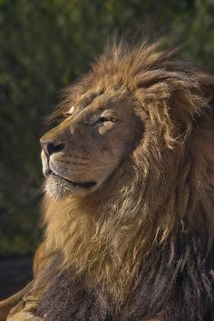 The very regal and contented M'bari, San Diego Zoo's reigning lion. Photo credit: San Diego Zoo.