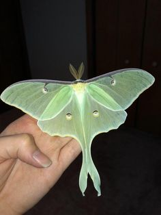 """The Luna Moth doesn't have a mouth or a digestive system. It will only live for about a week, with the singular purpose of mating"" Lunar Moth Tattoo, Moth Tattoo Meaning, Moth Drawing, Large Moth, Cool Bugs, Arte Horror, Beautiful Creatures, Animals Beautiful, Body Art Tattoos"