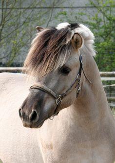 Norwegian Fjord Horse; Looking a Bit Temperamental.