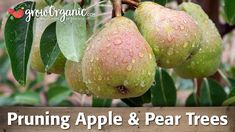In this video, Tricia will teach you how to prune apple and pear trees using the central leader training system.