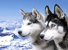 huskies dogs with blue eyes
