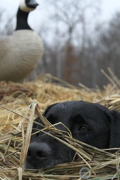 Adorable and awesome hunting dog - the Labrador Retriever....