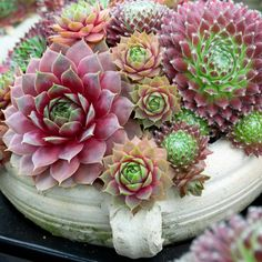 Sempervivum Hens and Chicks - 6 pc.