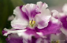 Flo's Violet