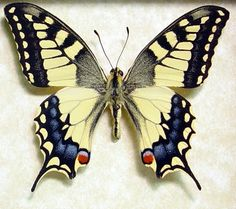 Real Framed Japanese Butterfly Papilio Machaon Butterfly This yellow swallowtail butterfly is commonly known as the old world swallowtail Butterfly Frame, Butterfly Design, Yellow Butterfly Tattoo, Butterfly Gifts, Butterfly Pictures, Insects Names, Pink Mountains, High Museum, Flying Flowers