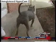 A Pit Bull Saw a Man Beating His Wife. What Happens Next is AWESOME!