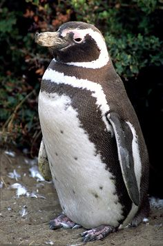 Magellanic Penguin (Spheniscus magellanicus) is a South American penguin, breeding in coastal Argentina, Chile and the Falkland Islands, with some migrating to Brazil where they are occasionally seen as far north as Rio de Janeiro. It is the most numerous of the Spheniscus penguins. Its nearest relatives are the African, the Humboldt and the Galápagos Penguins. They are native to the Strait of Magellan in the cool climate of southern Chile, hence the name's origin.