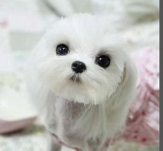 Hair cuts for Maltese dogs - this is what Angel needs!