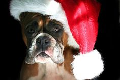 """Christmas Boxer dog"" by ritmoboxers 