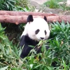 Ocean Park Hong Kong....fell in love with the pandas.
