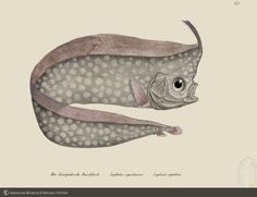 """Mesopelagic crested oarfish from Schinz's """"Natural History and pictures of fish"""", 1856 Science Illustration, Children's Book Illustration, Illustrations, Scientific Drawing, Fishing Pictures, Botanical Drawings, Fish Print, Vintage Fishing, Science And Nature"""