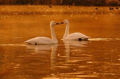 Now, I'm Ranking No. 2 ! ^^; https://youpic.com/photographers Lovely Couple ! , Tundra Swan by Mubi.A