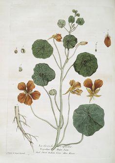 La Grande Capucine. (1774) #botanical #Nasturtium