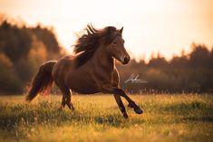 Ein brauner Isländer Hengst galoppiert im Sonnenuntergang über die Wiese | Pferd | Bilder | Foto | Fotografie | Fotoshooting | Pferdefotografie | Pferdefotograf | Ideen | Inspiration | Pferdefotos | Horse | Photography | Photo | Pictures
