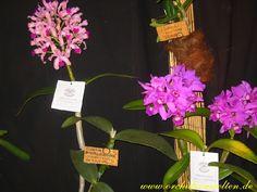Cattleya amethystoglossa ´Dresdner Ostern´
