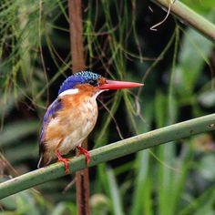 Malachite Kingfisher #LakeVictoria #Africa #Uganda #Entebbe #birding #travel