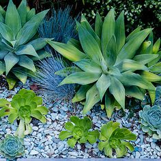 Large Agave attenuata offer stunning architecture without any spines. Smaller Aeonium 'Jolly Green' and a hybrid Echeveria echo the rosette shape in different colors. Clumps of Festuca glauca 'Elijah Blue' add softness to the scene, while a bright pebble mulch gives the illusion of light. Backyard Garden Landscape, Garden Beds, Garden Landscaping, Garden Nook, Shade Landscaping, Landscaping Ideas, Garden Ideas Large, Agave Attenuata, Sims