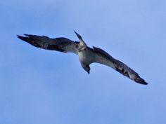 Osprey ©Clark Anderson. Wild Bird Company - Boulder, CO, Saturday Morning Bird Walk in Boulder County – July 16, 2016.