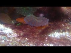 1000 images about saltwater fish and coral on pinterest for Red algae in fish tank
