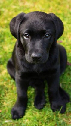Another black lab that looks just like our new pup! :) So cute!