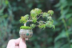 39 Beautiful Bonsai Trees Ideas For Indoors Mini Garden - Dlingoo Bonsai Art, Bonsai Plants, Bonsai Garden, Garden Trees, Bonsai Trees, Mame Bonsai, Moss Plant, Moss Garden, Tree Care