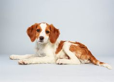 Laney the Brittany Spaniel Mix