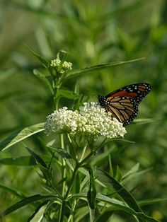 Asclepias incarnata 'Ice Ballet' (Swamp milkweed) - Perennial - Zones 3-9, Height 3-4 ft. A marvelous long-blooming, bright white selection of swamp milkweed. Clear white flowers and dark green foliage make the colors of the hundreds of visiting butterflies glisten in the sunlight.