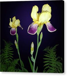 Irises In The Night Garden by Tara Hutton. These beautiful irises are from my own garden here in Michigan. They are a unique variety with yellow tops and violet purple lower petals. The ferns at the bottom were a bonus as I didn't know they were captured in the photograph. #IrisesInTheNightGarden #TaraHutton #ArtPrintOnCanvas #Irises #Flower #Floral #Garden #Nature #FineArtAmerica
