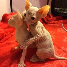 Sphynx Kittens reenacting an iconic scene from the film Titanic... You can almost hear Celine Dion =)