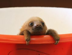 Not Just Sloths, Baby Sloths! I Hope Kristen Bell Has Some Kleenex. A New Book By Lucy Cooke.