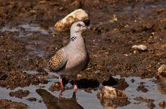 Turtle Dove (Streptopelia turtur) - Beauty of the autumn migration